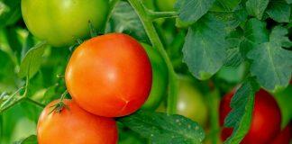 tomates, federadio