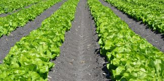 Lechuga-cultivo-federadio