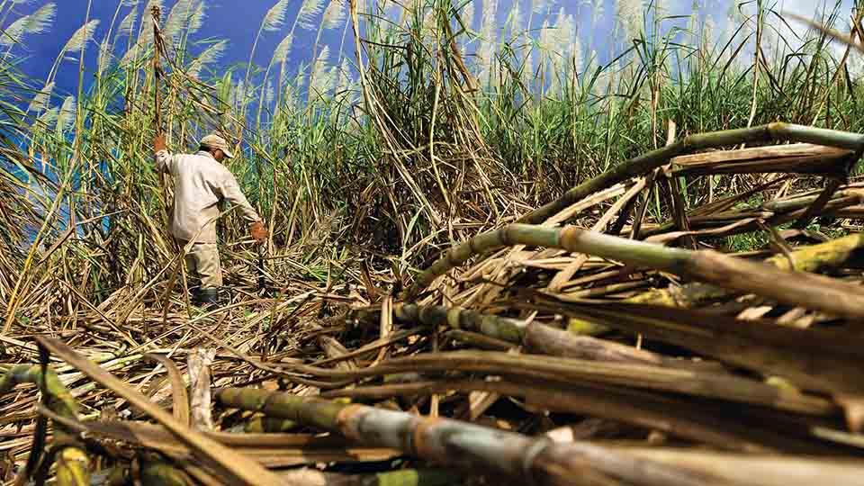 azucar-caña-produccion-zafra-cañicultores-venezuela-federadiove